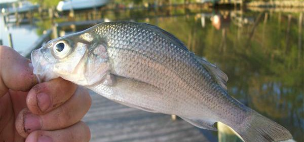 8 White Perch Fishing Tips & Techniques